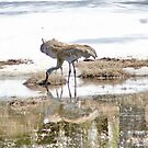 Yellowstone National Park - ? Sandhill Crane by AnnDixon
