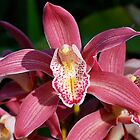 Pink Cymbidium by Penny Smith