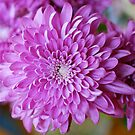 Mother's Day Chrysanthemum # 3 by Penny Smith