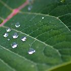 Dew Drops by NickVerburgt
