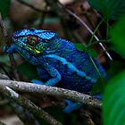 Male Panther Chameleon - Fighting colours by john  Lenagan
