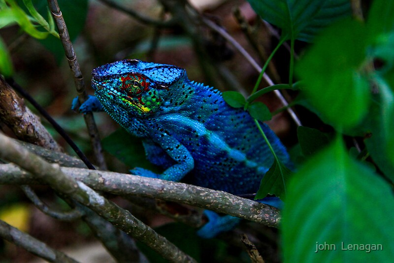 """Male Panther Chameleon - Fighting colours"" by john ..."