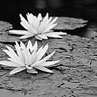 Water Lily in B&W by BrianDawson