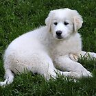 Zara The Pyrenees Puppy by vette