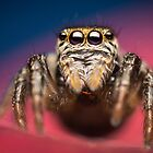 Evarcha arcuata female jumping spider high magnification photo by Mario Cehulic