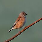 Linnet by Peter Wiggerman