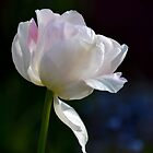 Pale Tulip by lynn carter