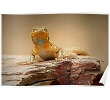 Common Side-blotched Lizard~ Eye Contact Poster