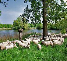 Flock of sheep by Adri  Padmos