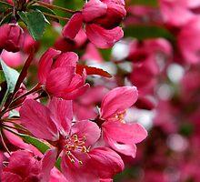 Cherry Blossoms by jammingene