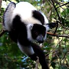 Black and White Ruffed Lemur Andasibe Madagascar by john  Lenagan