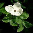 Dogwood by AnnDixon
