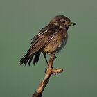 Female Stonechat by Peter Wiggerman