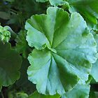 big green garden plant  leaves. by naturematters