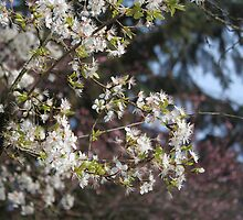 spring white cherry blossom tree by naturematters