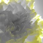 Carnation 2 - sun light by Blonddesign