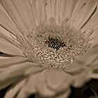Gerbera Daisy by Kirsten Day