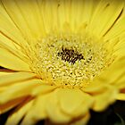 Yellow Gerbera Daisy by Kirsten Day