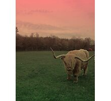 Scottish Highland Steer in pasture Photographic Print