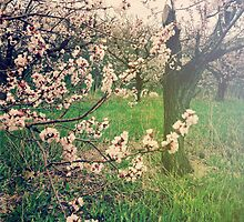 Apple Blossom Time in Leelanau by Olivia Joy StClaire