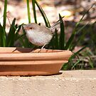 Dainty female fairy Wren on back patio. Arilka, Mt. Pleasant. S.A. by Rita Blom
