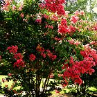 Crape Myrtle Yard by ctheworld