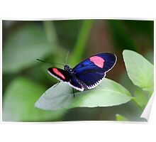 Blue and pink butterfly Poster