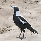 Young Male Magpie thinks he's a Seagull. Goolwa Beach. Sth. Aust. by Rita Blom