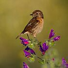 Female Stonechat by Neil Bygrave (NATURELENS)