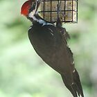 Pileated Woodpecker by Tori Snow