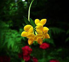 Yellow Birdsfoot Trefoil by Benjamin Tatrow