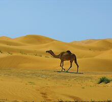 Camel in Dubai by Julien Grenon