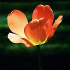 Orange Glow Tulip by Sharon Woerner