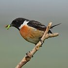 Male Stonechat - III by Peter Wiggerman