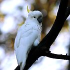 Cockatoo by RusticShiraz