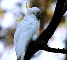 Cockatoo by RusticShiraz