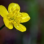 Bulbous Buttercup by Otto Danby II