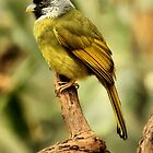 Yellow-Green Grosbeak by SuddenJim
