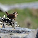 Shetland Wren - Troglodytes troglodytes zetlandica by Chris Monks