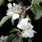Apple blossom at night (5) by Eleanor11