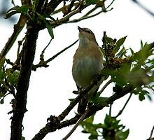 Singing Male Garden Warbler by VoluntaryRanger