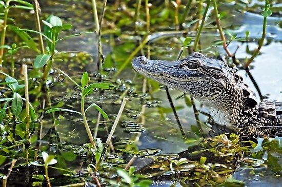 Little Gator by Jeff Ore