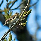 Tree Pipit by VoluntaryRanger