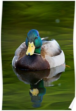 Male Mallard Duck by Michael Cummings
