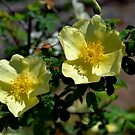 Yellow Wild Rose by WhiteOaksArt