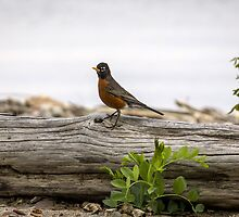 Robin on a Log by Mikell Herrick