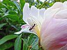Ant on Peony by Susan S. Kline
