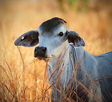 Brahman steer by Colin White