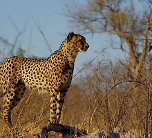 majestic cheetah by supergold