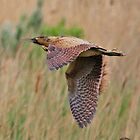 Bittern  by webbo